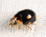Brachiacantha indubitabilis