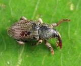 Tychius sp.