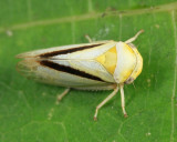 Oncopsis variabilis (female)