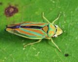 Graphocephala sp.