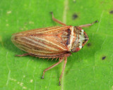 Leafhoppers genus Aphrodes