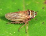 Aphrodes costatus
