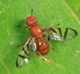 Rivellia pallida or imitabilis