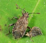 Arhyssus nigristernum