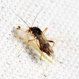 Clinohelea bimaculata