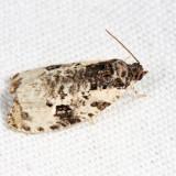 2820 - Malana Leafroller – Olethreutes malana