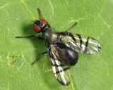 Rivellia variabilis