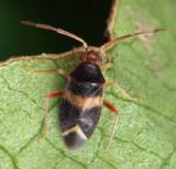 Ceratocapsus sp.