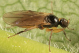 Stilpon varipes species group