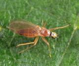 Phyllodromia americana