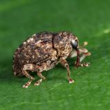 Eubulus parochus