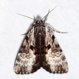 8849 – Andromeda Underwing Moth – Catocala andromedae