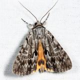 8846 - Sordid Underwing - Catocala sordida