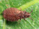 Pine Flat Bug - Aradus kormilevi