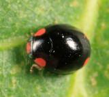Bigeminy Lady Beetle - Hyperaspis bigeminata