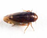 Xestocephalus brunneus