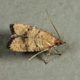 0955 - Oak Leaftier - Psilocorsis quercicella