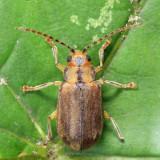 Viburnum Leaf Beetle - Pyrrhalta viburni