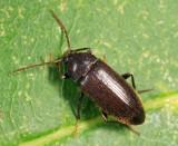 Hymenorus sp.