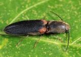 Athous scapularis