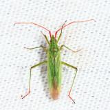 Rice Leaf Bug - Trigonotylus caelestialium
