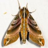 7884 - Hydrangea Sphinx - Darapsa versicolor