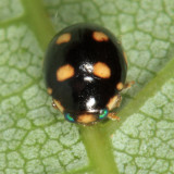 Brachiacantha decempustulata (female)