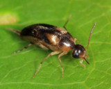 Mordellistena ornata