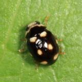 Brachiacantha decempustulata (male)