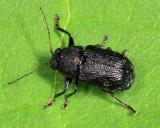 Pachybrachis luridus