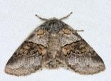 7931 - Common Gluphisia - Gluphisia septentrionis