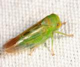 Idiocerus sp.