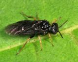 Birch Leafminer - Fenusa pumila