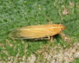 Prokelisia crocea