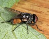 Muscidae