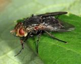 Peleteria sp.