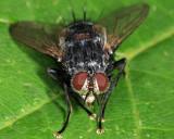 Panzeria sp.