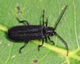 Eropterus trilineatus