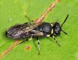 Eastern Modest Masked Bee - Hylaeus modestus modestus