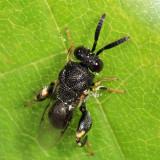 Brachymeria sp.