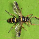 Hoplisoides sp.