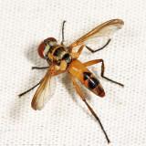 Xanthomelanodes flavipes