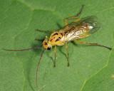 Nematus oligospilus