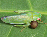 Dryinidae larva