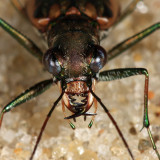Margined Tiger Beetle - Ellipsoptera marginata