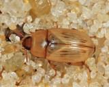 Phaleria testacea