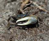 Atlantic Marsh Fiddler Crab - Uca pugnax