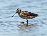 Short-billed Dowitcher - Limnodromus griseus
