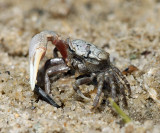 Atlantic Sand Fiddler Crab - Uca pugilator