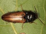 Ampedus nigricollis